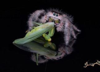 Spider eat